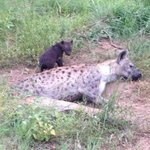 Hyaenas with pups - we saw this family quite a bit