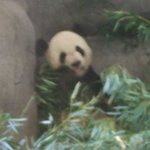 One of our 2 Pandas in China Exhibit