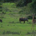 Buck & Warthog