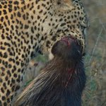leopard with porcupine