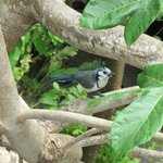 Magpie-jay