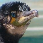 Los ojos azul turquesa de los cormoranes...