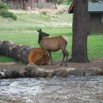 Manor RV elk visitors