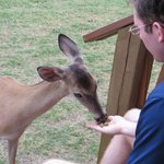 Food is provided daily for feeding the deer!