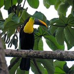 Toucan in the Trees