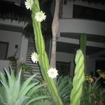 our garden night blooming cactus