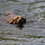 Baylee swimming in the Schroon River.