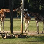 Giraffes eating dinner.