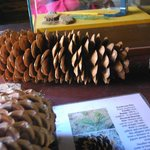 some of the pine cones