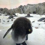 A sleeping penguin