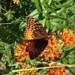 Hobbs State is well know for their conservation of native plants this butterfly attractant was j