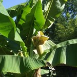bananas island