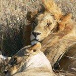 leone ad amboseli