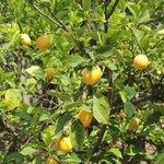 Limoni in giardino