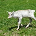 Young reindeer calf, born May 2014