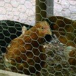 Chicken coop in the backyard