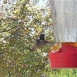 Himmingbird
