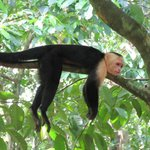White Faced monkey hanging out