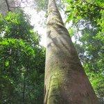 Gigantic tree