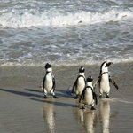 It was so amazing watching the penguins swept off by the tides and walking back up the shore