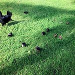 Friendly chicken and her peeps