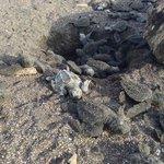 Playa Ostional - Weltbekannt für seine Schildkröten(babies)