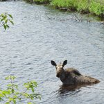 Cow Moose eating at a boat landing