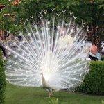 Peafowl in the garden