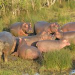 Zonnende nijlpaarden