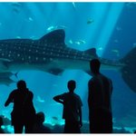 One of the four Whale Sharks cruises by the huge acrylic wall