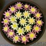 Волшебные цветы лотоса