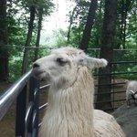 LLAMA of the petting zoo