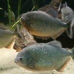 The chilled out Piranhas in the aquarium...