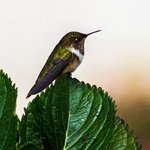 Mountain Gem Hummingbird