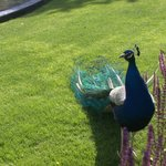 Ordinary peacock