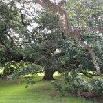 Gorgeous 500 year old oak!!