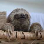 Baby Sloth thinking
