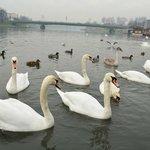 лебеди на реке Висла
