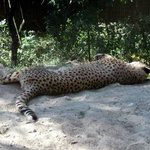La sieste du Léopard
