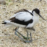 Avocet and one of her chicks