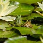 Frogs on the lily pads in the ponds