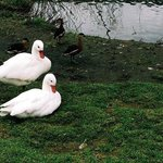 White ducks in an open enclosure