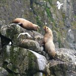 snippy sea lions