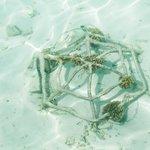 Выращивают кораллы