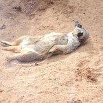 a female meercat