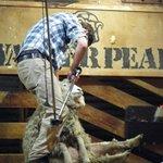 Shearing demonstration at the station.