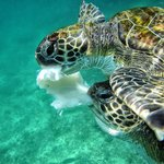 Two sea turtles are sharing the remains of a cuttlefish.