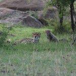 Cheetah & Her Cub