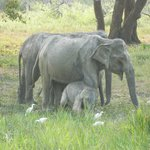 Yala's Elephants