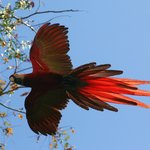 Scarlet Macaw arriving